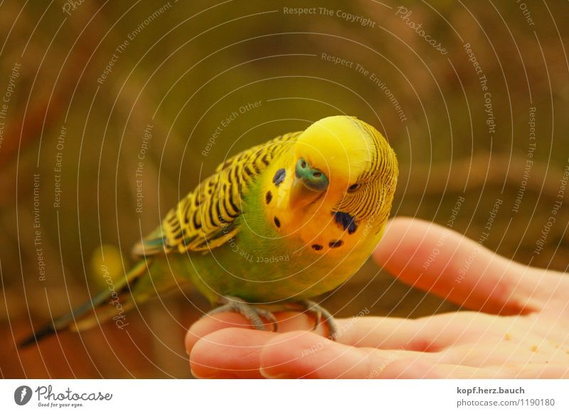 the sparrow in the hand Animal Bird Budgerigar Pet 1 Observe To feed Friendliness Happiness Curiosity Safety Safety (feeling of) Love of animals Smooth tame