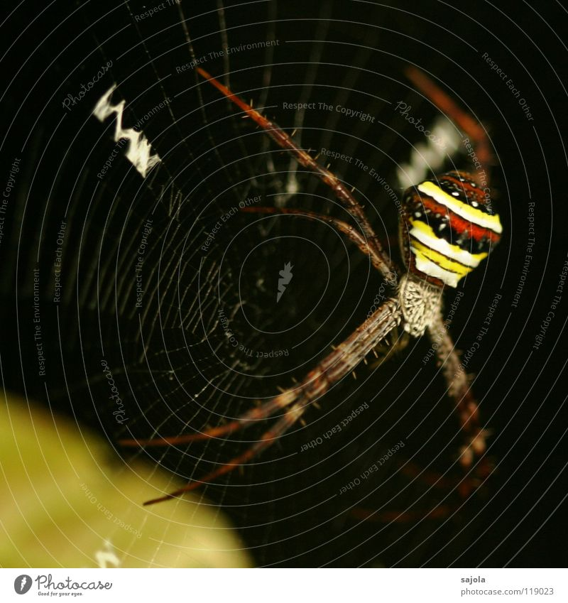 Nature Red Animal Colour Black Yellow Head Legs Stripe Net Asia Virgin forest Striped Disgust Sewing thread Spider