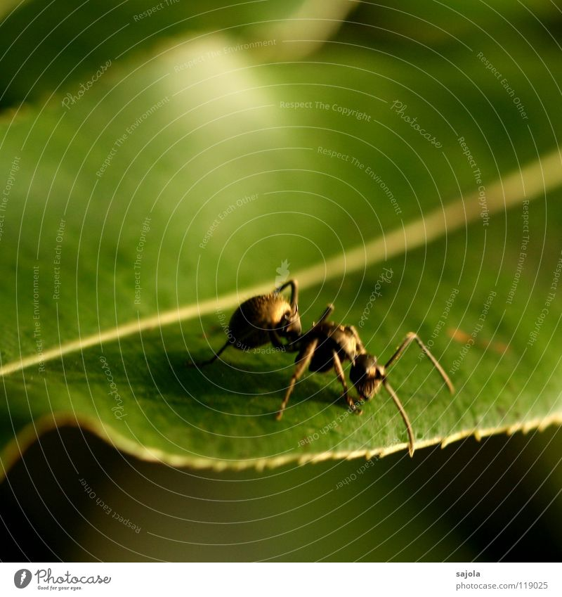 golden ant (blurred) Animal Leaf 1 Crawl Green Ant Insect Head Feeler Legs Asia Singapore Colour photo Exterior shot Close-up Macro (Extreme close-up)