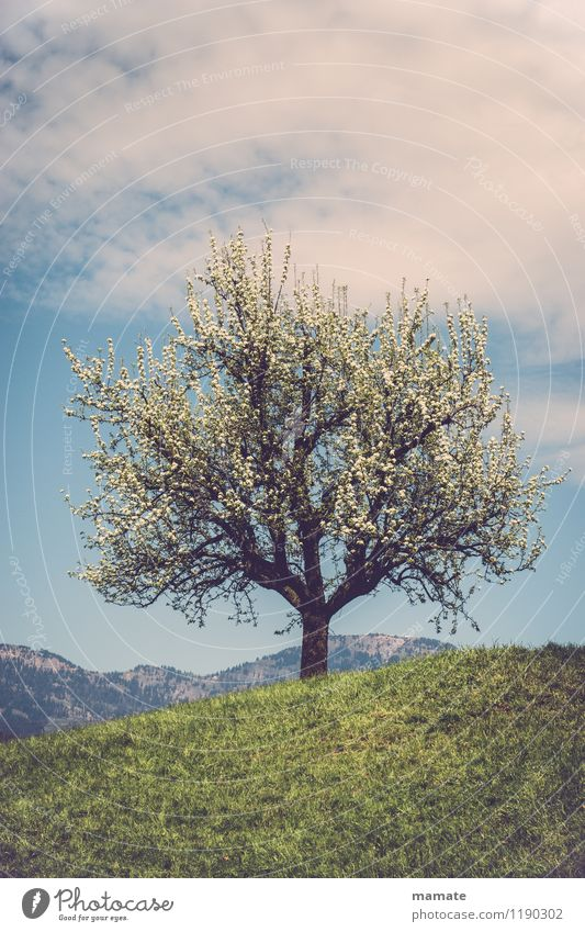 Blossom tree on a hill in Switzerland Nature Plant Sky Clouds Sunlight Spring Beautiful weather Tree Meadow Hill Mountain Peak Deserted Natural Retro
