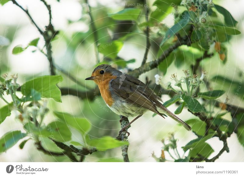 everything in the green area Nature Spring Tree Garden Bird 1 Animal Sit Cute Red Attentive Robin redbreast Apple tree Branch Exterior shot Deserted