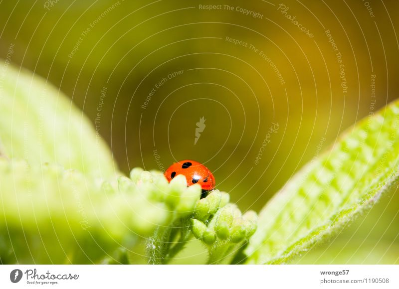 Plant Green Summer Red Leaf Animal Black Blossom Small Wild animal Bushes Insect Spotted Beetle Leaf green Ladybird
