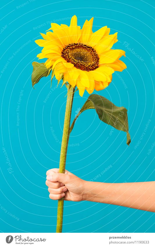 Sunflower Summer Hand Blossom Blue Yellow Green Hold one spring Vertical Colour photo Interior shot Neutral Background