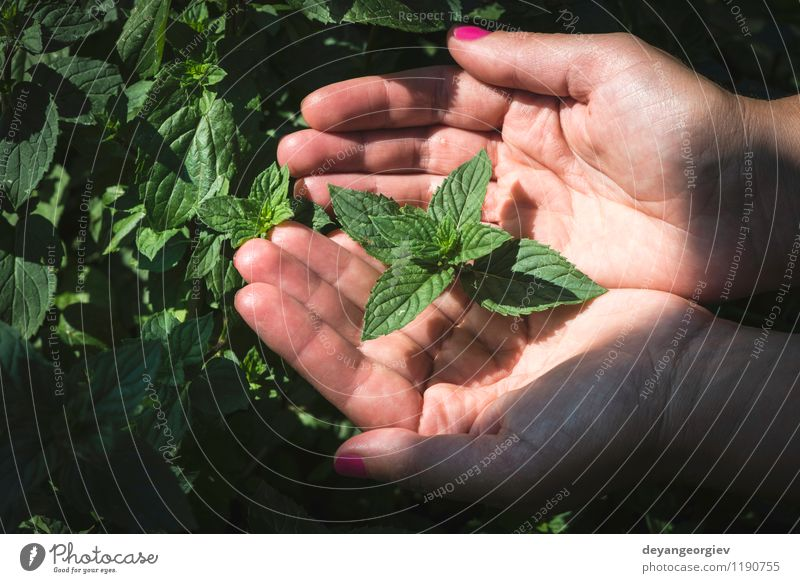 Hands hold mint leaves Vegetable Herbs and spices Garden Gardening Woman Adults Nature Plant Leaf Growth Fresh Green Mint field peppermint food healthy Organic