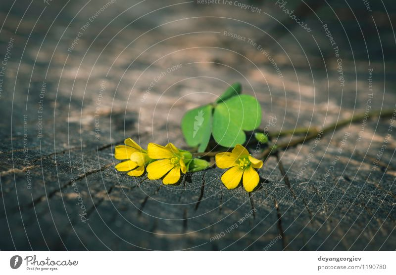 Small yellow flowers Beautiful Summer Table Nature Plant Tree Flower Leaf Blossom Old Natural Wild Yellow White wood background spring wooden Consistency wort