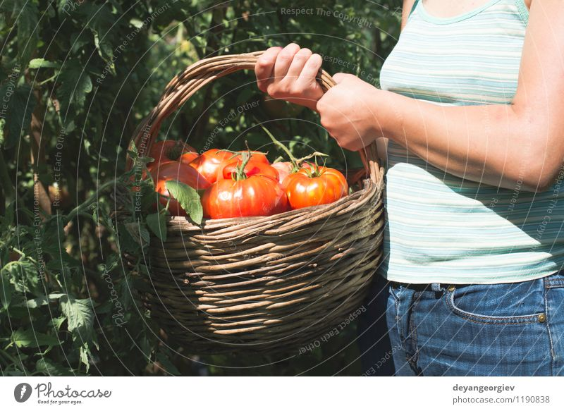 Picking tomatoes in basket. Vegetable Fruit Vegetarian diet Lifestyle Summer Garden Gardening Human being Woman Adults Hand Nature Plant Fresh Natural Green Red
