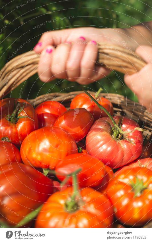 Picking tomatoes in basket Human being Woman Nature Plant Green Summer Red Hand Adults Natural Garden Lifestyle Fruit Fresh Vegetable Harvest