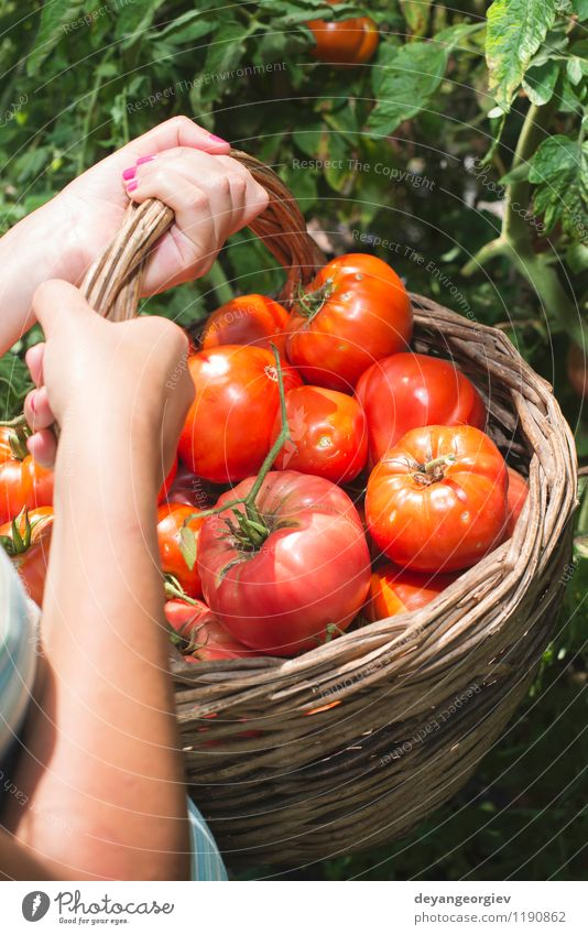 Picking tomatoes in basket Vegetable Fruit Vegetarian diet Lifestyle Summer Garden Gardening Human being Woman Adults Hand Nature Plant Fresh Natural Green Red