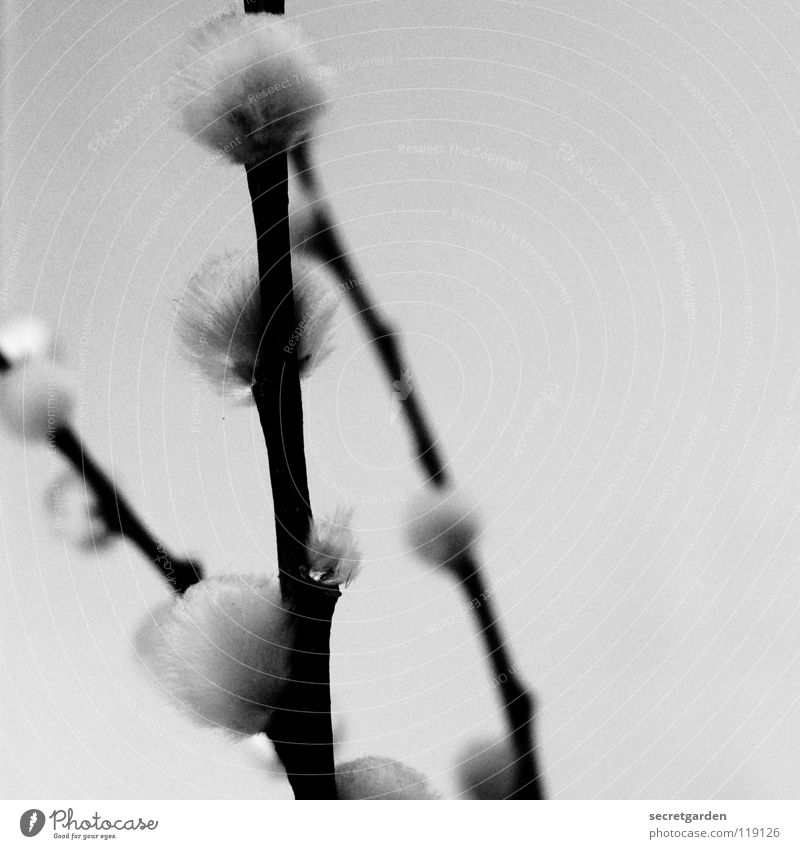 ramified Catkin Plant Unicoloured Black White Soft Cuddly Haptic Blur Grief Winter Beautiful Supple Delicate Spring Botany Cute Sweet Still Life Velvety