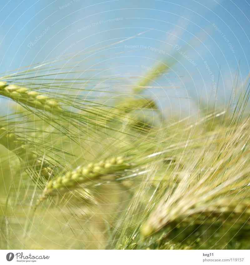 rye catchers Wheat Rye Barley Flower Green Grass Leisure and hobbies Beige Brown Near Summer Meadow Field Blade of grass Ear of corn White Flour Grain Calm