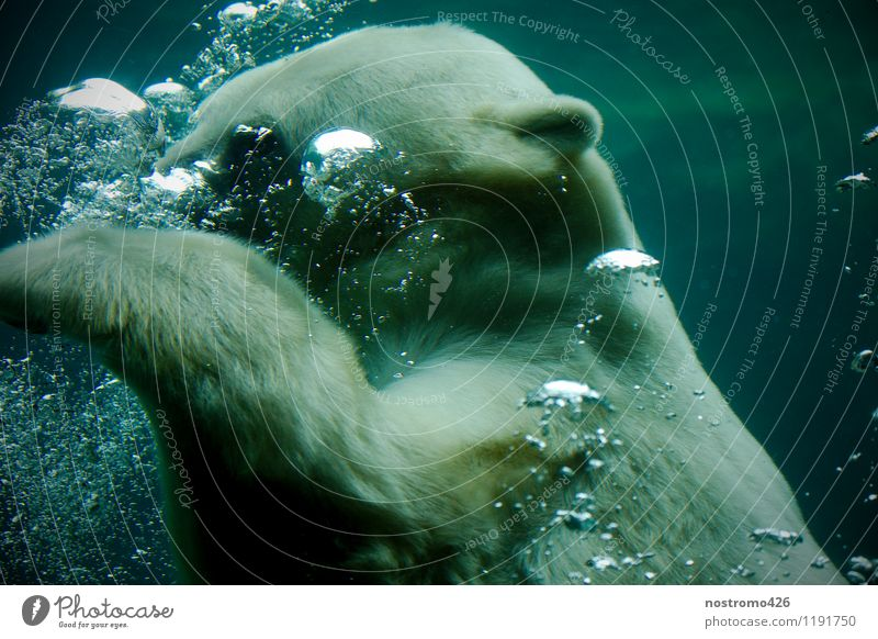 diving polar bear Animal Wild animal Animal face Claw Zoo Polar Bear 1 Breathe Swimming & Bathing Dive Cool (slang) Wet Blue Turquoise Cold Colour photo