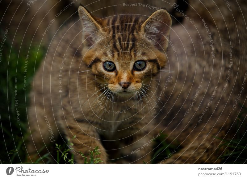 wild cat kitten Animal Wild animal Cat Animal face Zoo Wild cat 1 Baby animal Discover Walking Looking Cuddly Small Cute Curiosity Interest Colour photo
