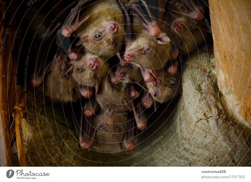 hanging flying foxes Animal Wild animal Animal face Wing Zoo Old World fruit bats Group of animals Pack Together Cuddly Near Warmth Protection