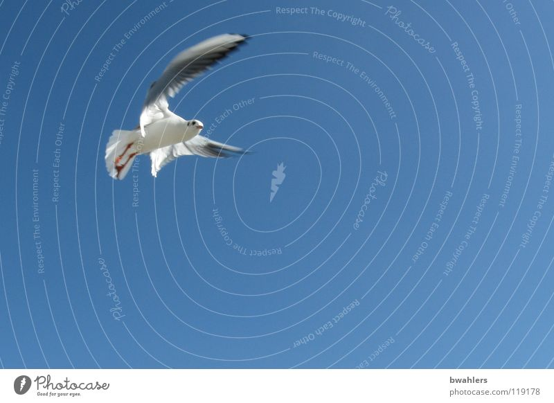 seagull Bird Air Seagull Summer Sky Blue Lake Constance Freedom Flying