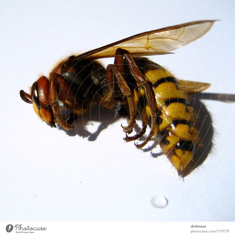 ...she's still asleep! Hornet Dangerous Sleep Threat Pierce Zoom effect Tiny hair Feeler Red Yellow Black White She only sleeps no wasp no bee the engraving
