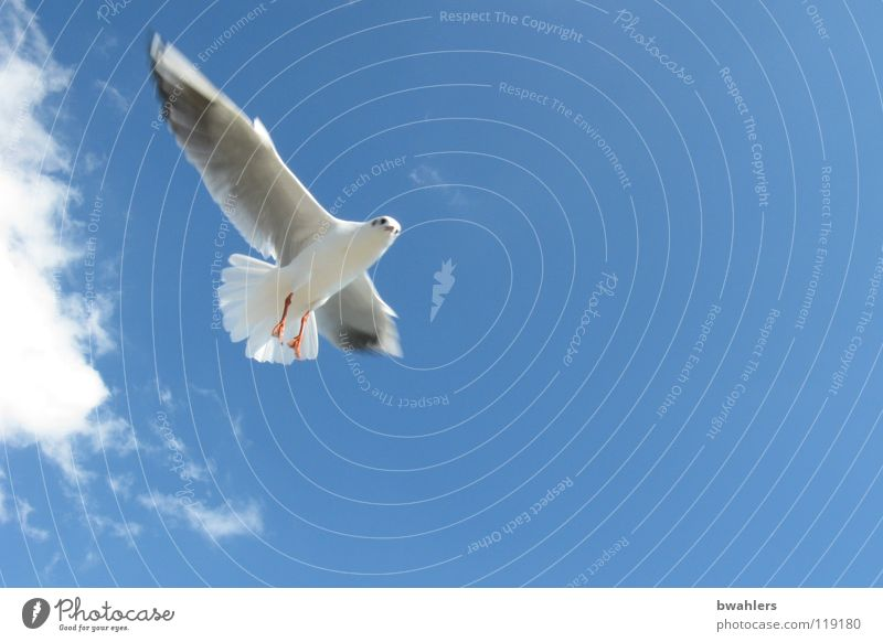 Seagull 2 Bird Summer Clouds Sky Lake Constance Blue Freedom Flying