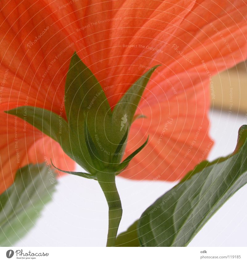 Hibiscus in square I Plant Houseplant Blossom Flower Bushes Blossoming Growth Flourish Red Green Stalk Blossom leave Multiple Botany Seasons Spring Summer open