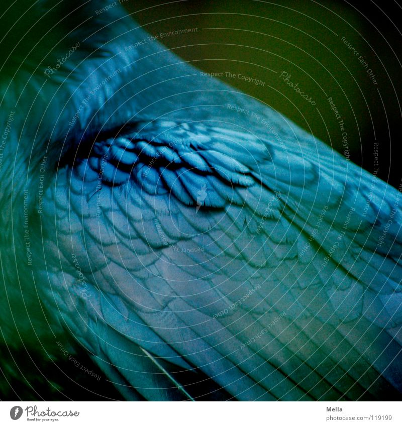 Beautiful Green Blue Black Bird Glittering Feather Wing Noble Pride Raven birds Crow Common Raven Carrion crow