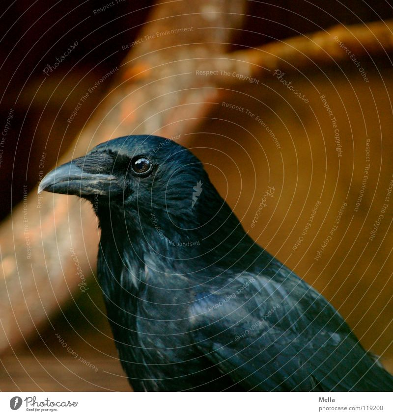 Black Eyes Dark Bird Glittering Feather Mysterious Concentrate Mystic Know Beak Wisdom Smart Animal Glimmer Crow