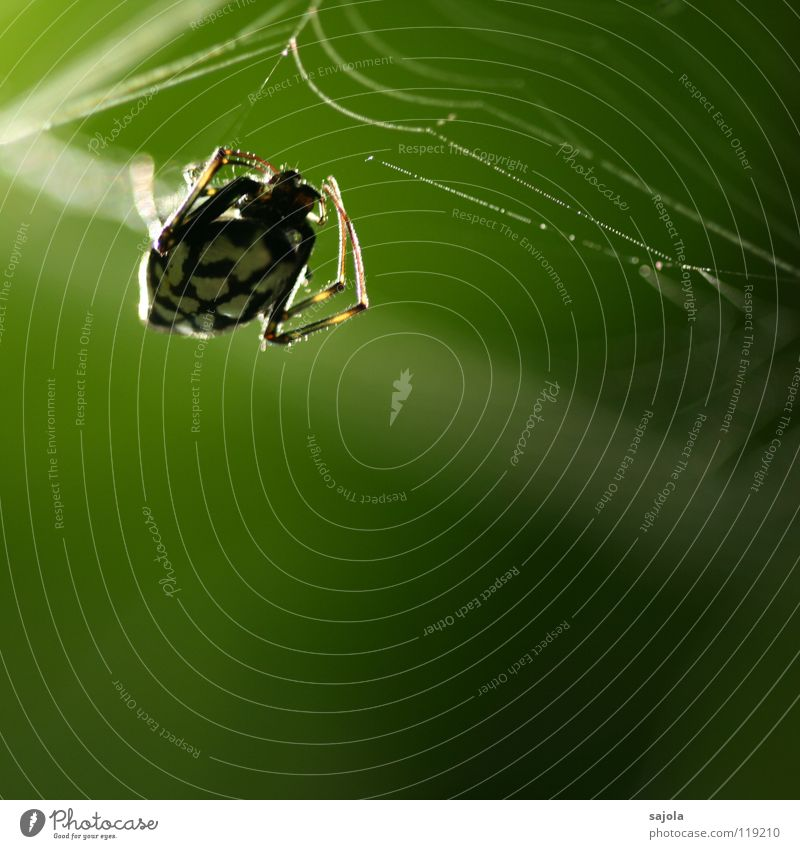 backlit Nature Animal Virgin forest Spider 1 Net Green Black White Accuracy Legs Head Singapore Asia Sewing thread Fate Dream Colour photo Exterior shot