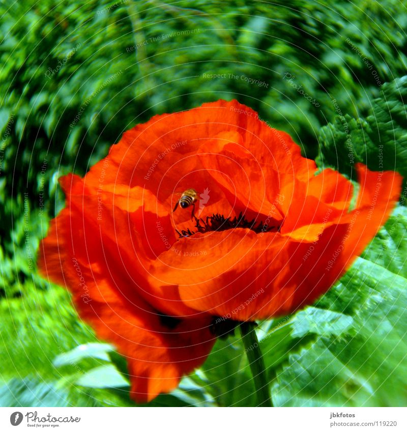 Beautiful Flower Green Red Summer Joy Blossom Spring Orange Insect Blossoming Bee Underground Poppy Canada