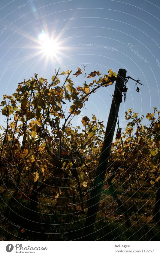 Sky Sun Blue Leaf Autumn Mountain Vine Vineyard Limp