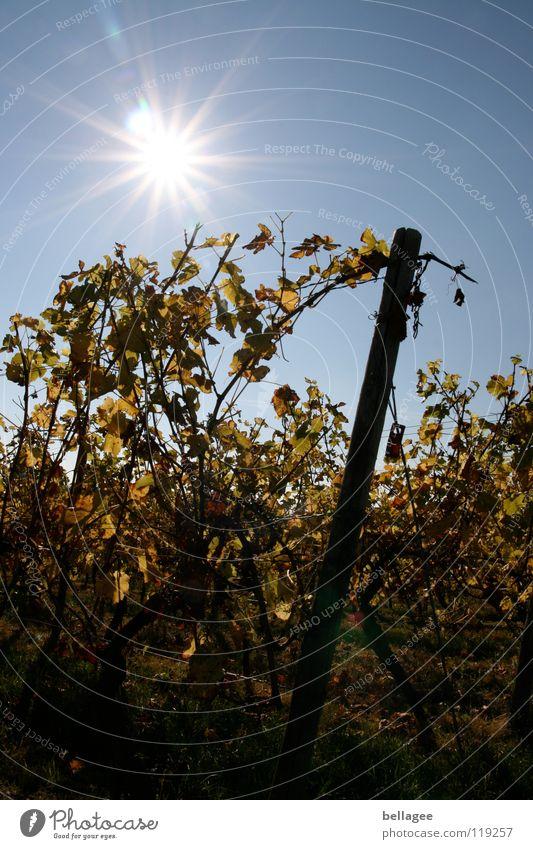 Sunlight in the vines Autumn Vine Vineyard Leaf Limp Back-light Mountain Sky Blue yellow Tilt