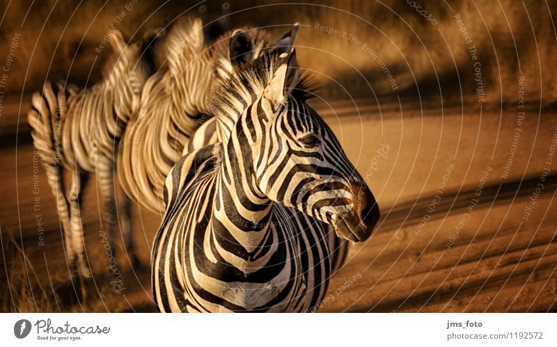 Zebra Polonaise Nature Animal Wild animal 4 Group of animals Stripe Esthetic Athletic Natural Cute Saulspoort South Africa Wydhoek Colour photo Exterior shot