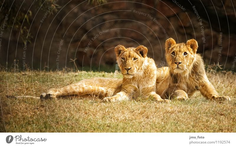 Two young lions Environment Animal Wild animal Zoo Lion 2 Baby animal Cool (slang) Curiosity Cute Colour photo Exterior shot Shallow depth of field