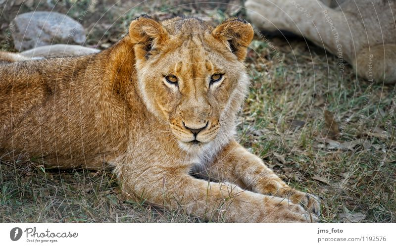 Young Lion Nature Animal Wild animal 1 Esthetic Cute Contentment Respect Colour photo Exterior shot Close-up Day Shallow depth of field Central perspective