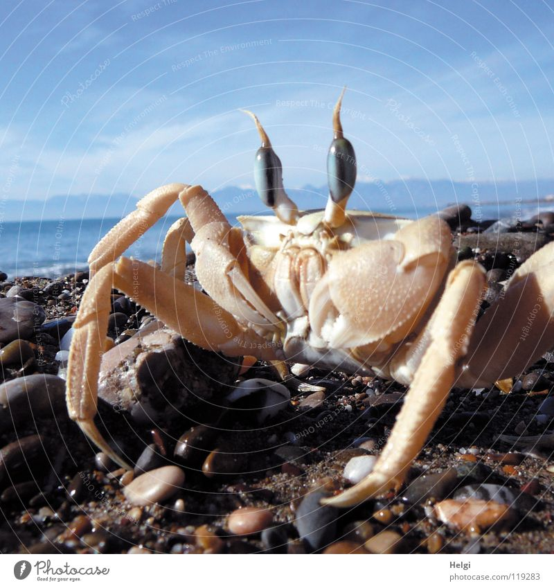 Close-up of a crab on the beach Colour photo Exterior shot Deserted Copy Space top Day Shadow Sunlight Worm's-eye view Animal portrait Looking Joy