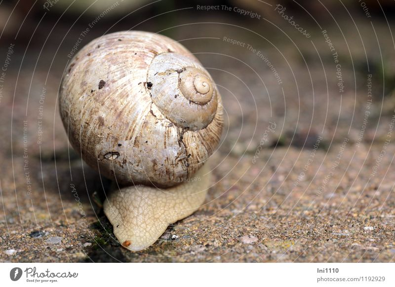 escargot Nature Animal Summer Garden Wild animal Snail Stone Concrete Athletic Exceptional Success Large Natural Round Slimy Brown Gray Pink Black White Power