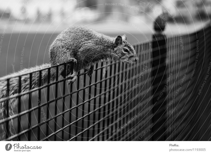 I'll get it! Nature Animal Park Wild animal Pelt Paw 1 Natural Cute Squirrel Fence Rodent Climbing Sit Black & white photo Exterior shot Deserted