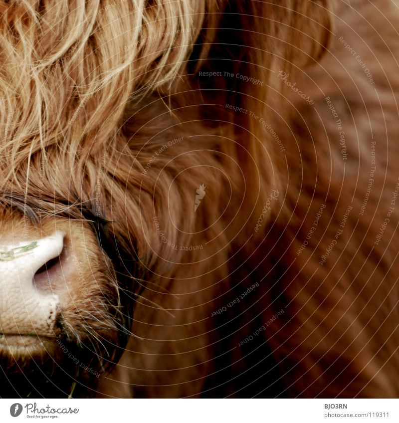 the bull Damien Highlands Highland cattle hairy animal no pet at all nose red big huge Exterior shot