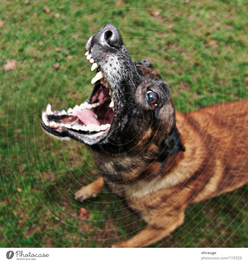 The dog Animal Meadow Pelt Dog Brown Green Fear Dangerous Snout Panic Mammal Malinois Bark Wauwau short-haired Lawn Set of teeth Belgian Exterior shot