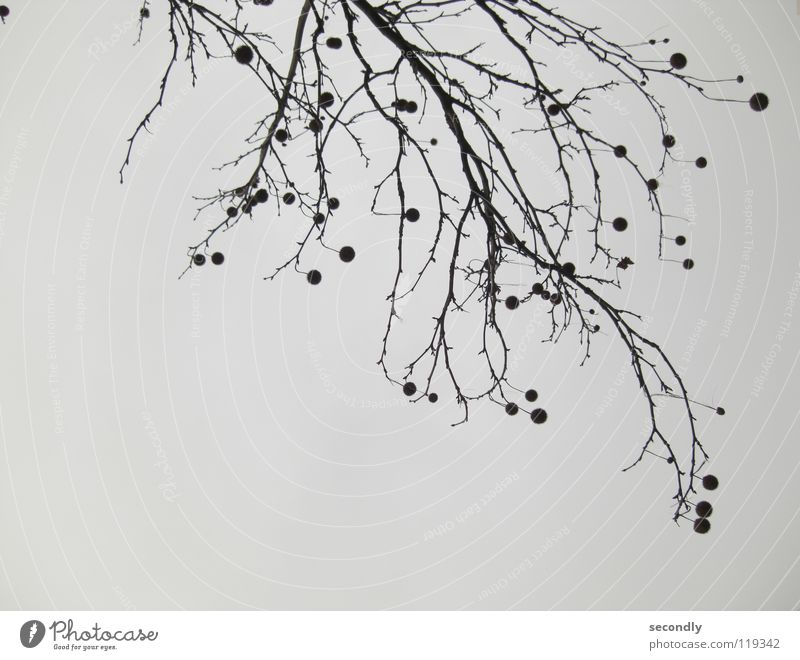 Sky Tree Black Autumn Gray Branch Sphere Twig Thorn Bad weather Rotated