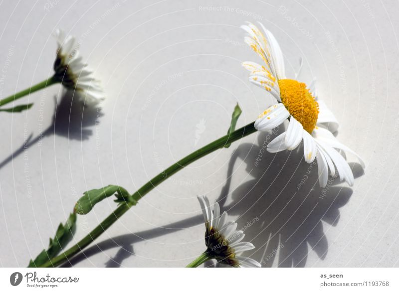 shadow play Healthy Life Harmonious Summer Decoration Mother's Day Plant Flower Marguerite Pollen Stalk Blossom leave Touch Blossoming Growth Authentic Fresh