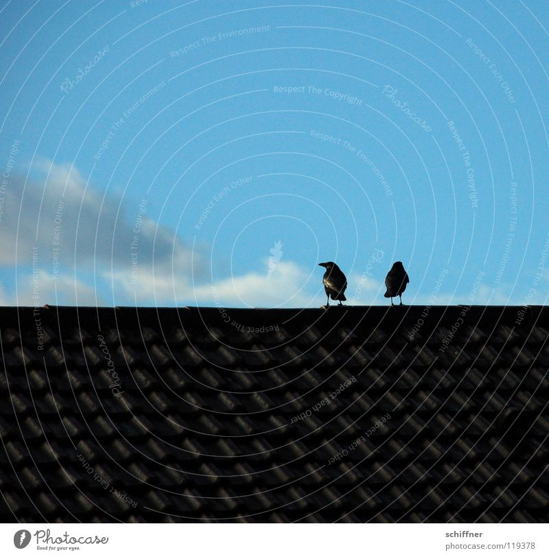 Sky Blue Clouds Together Bird Pair of animals In pairs Roof Argument Divide Raven birds Crow To be silent