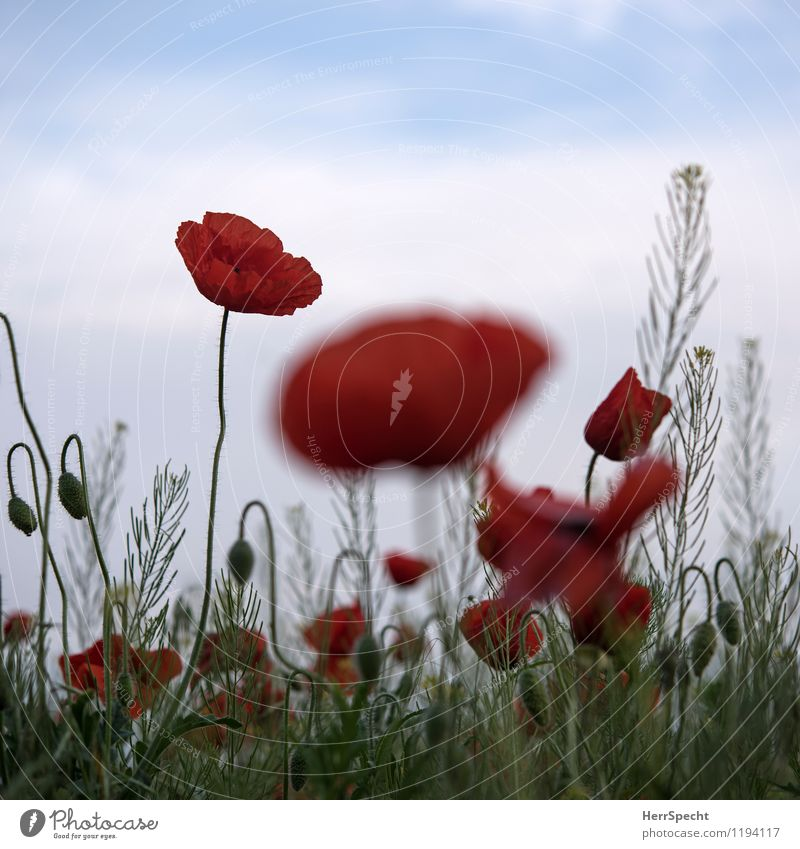 Harmophone Environment Nature Plant Flower Fresh Juicy Red Field Agriculture Poppy blossom Corn poppy Colour photo Subdued colour Exterior shot Copy Space top