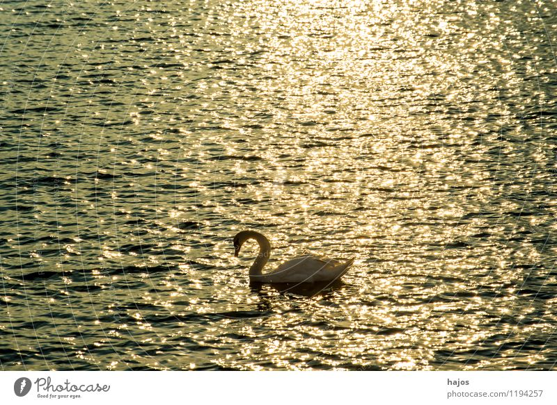Sunrise at the Baltic Sea with swan Leisure and hobbies Vacation & Travel Ocean Nature Swan Romance Idyll floats golden Monochrome Stolpmünde Ustka Poland Surf
