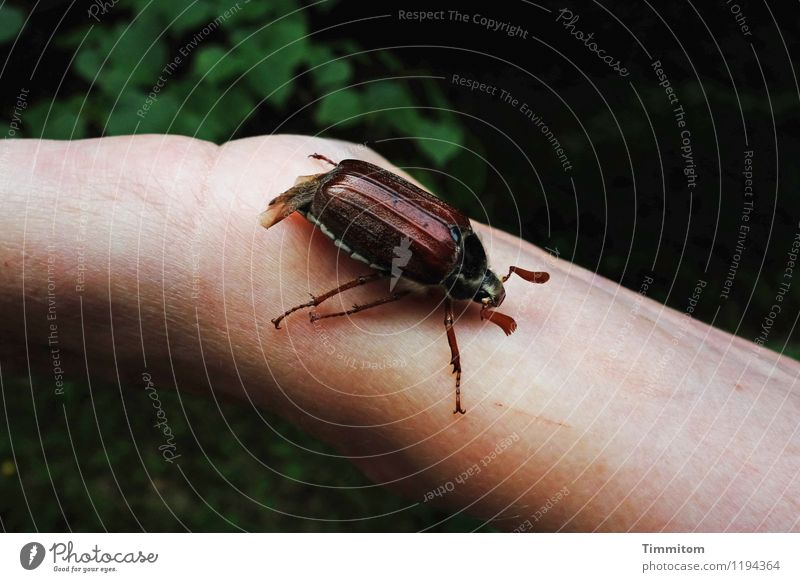 Sumsemann. Environment Nature Animal May bug 1 Natural Emotions Arm Hand Crawl Beetle Colour photo Exterior shot Day Animal portrait