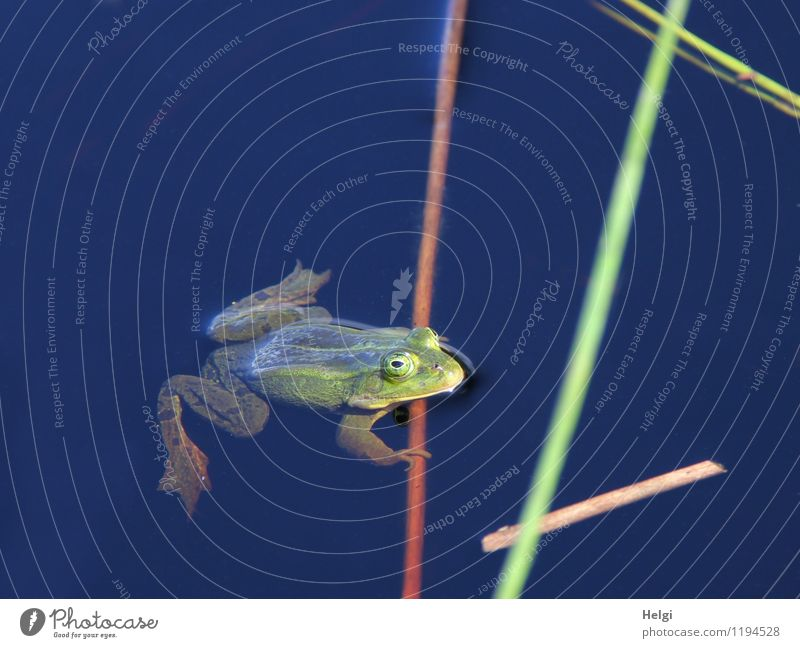 croaky Environment Nature Animal Water Spring Beautiful weather Bog Marsh Wild animal Frog 1 Observe Looking Swimming & Bathing Wait Uniqueness Illness Wet