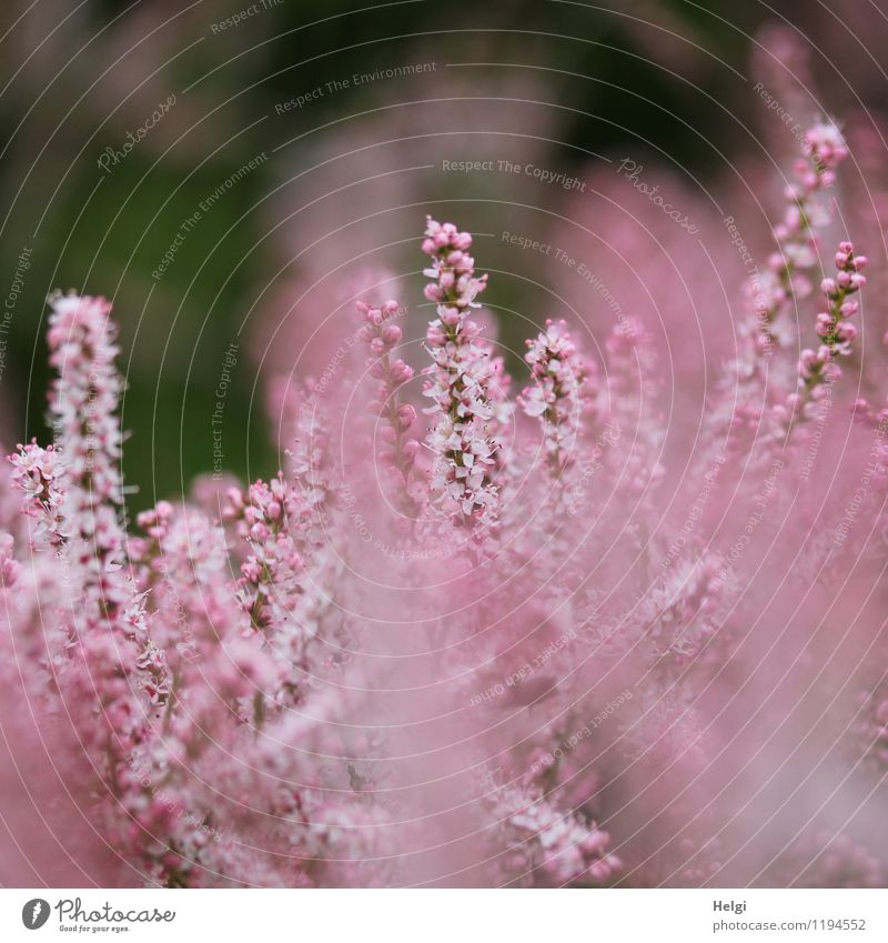 pink flowers... Environment Nature Plant Spring Bushes Blossom Panicle blossom Park Blossoming Growth Esthetic Beautiful Small Natural Gray Pink Uniqueness Life