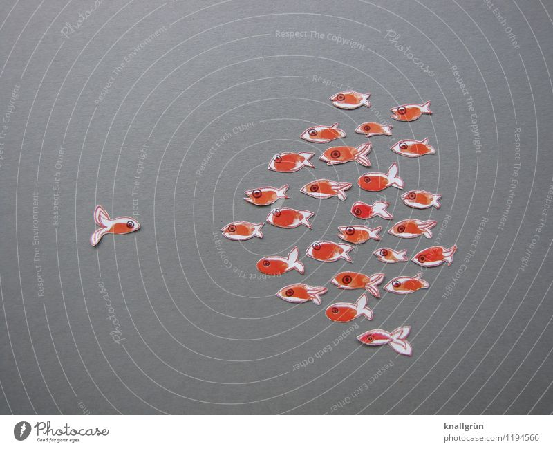 loner Animal Fish Group of animals Flock Observe Looking Together Gray Orange White Emotions Moody Self-confident Communicate Goldfish Opposite Colour photo