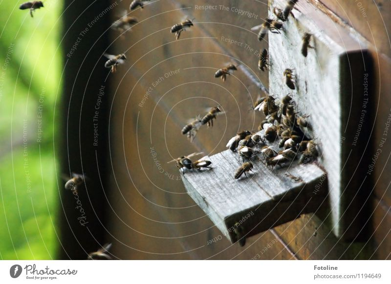 Ssssssssssummmmmmm! Environment Nature Animal Beautiful weather Farm animal Bee Flock Free Small Near Natural Beehive Fly Insect Diligent Colour photo