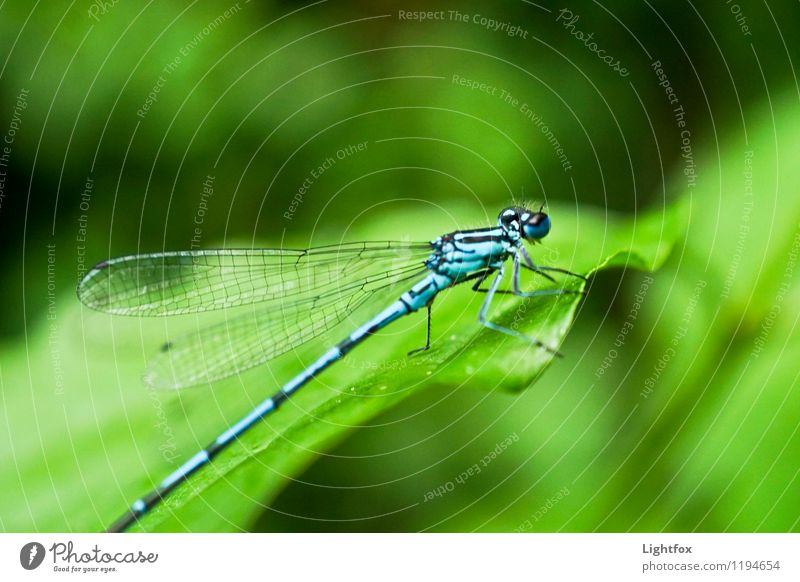 Lilabelle- oh blue Animal Dragonfly 1 Power Passion Trust Dragonfly wing Blue Green Wing Insect Colour Colour photo Exterior shot