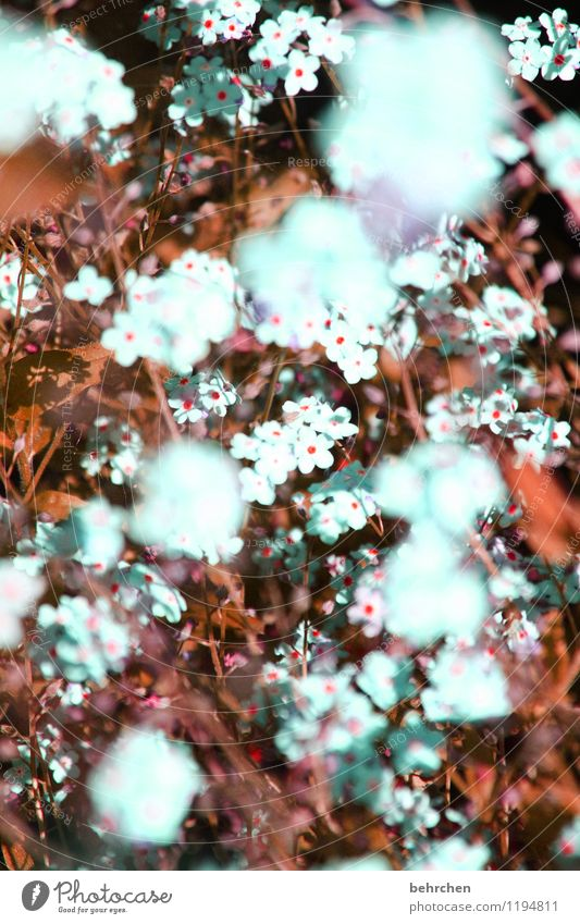mouse-ear Nature Plant Spring Summer Autumn Beautiful weather Flower Grass Leaf Blossom Forget-me-not Garden Park Meadow Field Blossoming Faded Growth Kitsch