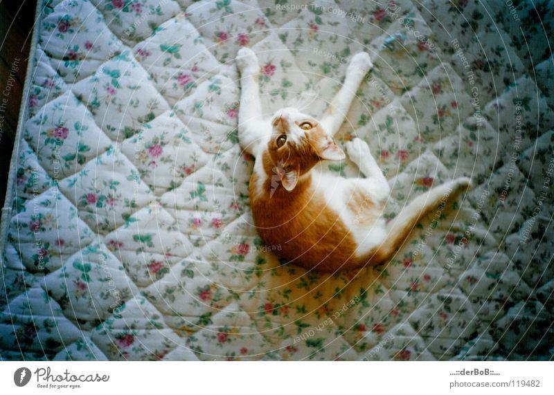 mattress cat Pelt Animal Pet Cat Animal face Paw 1 Baby animal To enjoy Lie Looking Elegant Brash Small Cute Rebellious Thin Soft Yellow White Contentment