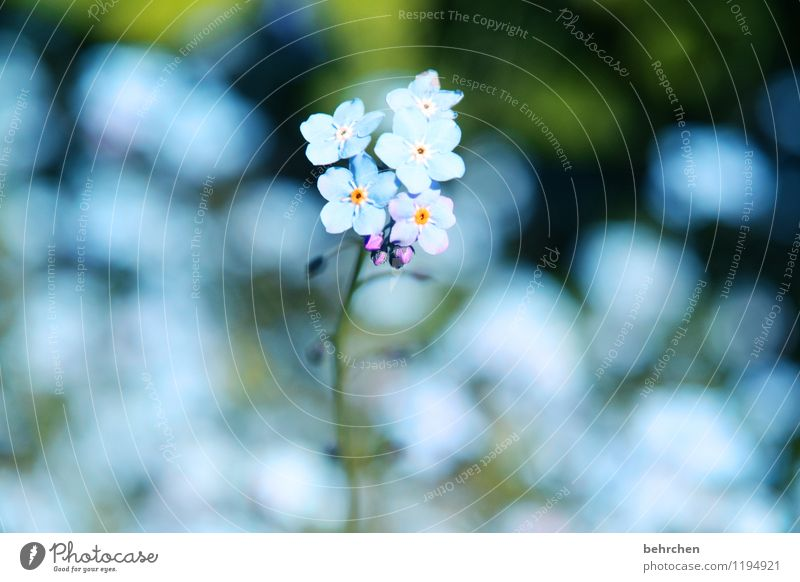 ice(blue)flowers Nature Plant Spring Summer Beautiful weather Flower Grass Leaf Blossom Wild plant Forget-me-not Garden Park Meadow Blossoming Fragrance Faded
