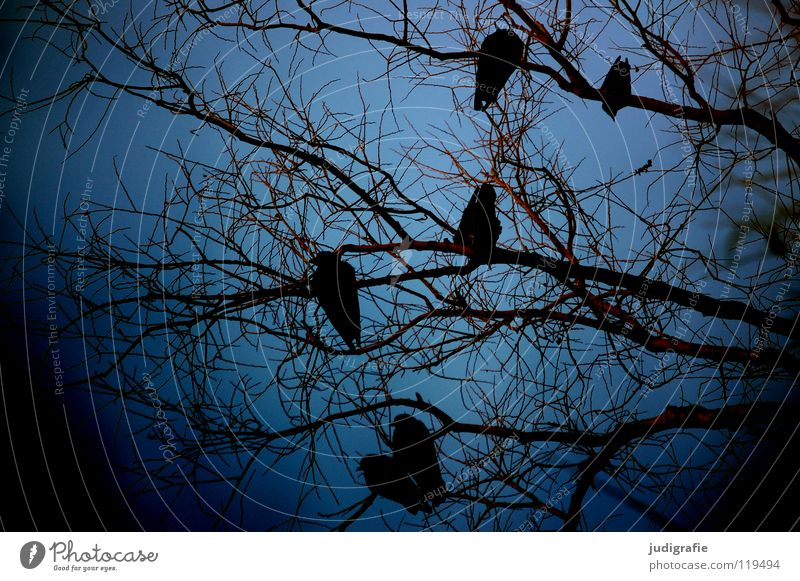 winter blue Tree Crow Rook Treetop Bird Environment Cold 6 Dark Winter Colour Sky Branch Twig Sit Wait Blue Nature Exterior shot